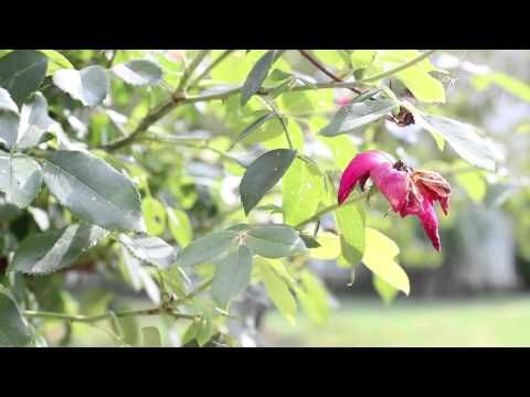 Rokinon 35mm T1.5 Video Test Flower - Canon EOS T3i.  A Rokinon 35mm lens video test!  A Rokinon lens can produce Hollywood-like video at a budget price.  It's the best cine lens for the Canon EOS camera line-up IMO.  Please share this video and enjoy my other Rokinon 35mm videos too!  Filmed with Canon EOS 600D with Rokinon 35mm T1.5 Cine lens.