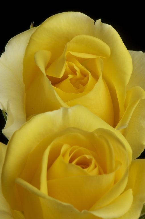 valentine's day yellow color meaning