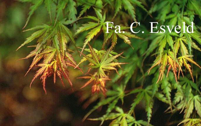 les 25 meilleures id es de la cat gorie arbuste feuille rouge sur pinterest arbre feuille. Black Bedroom Furniture Sets. Home Design Ideas