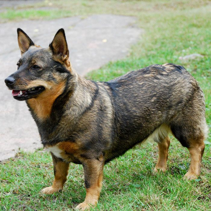 20 of the World's Rarest Dog Breeds | Farm Dogs, The ...
