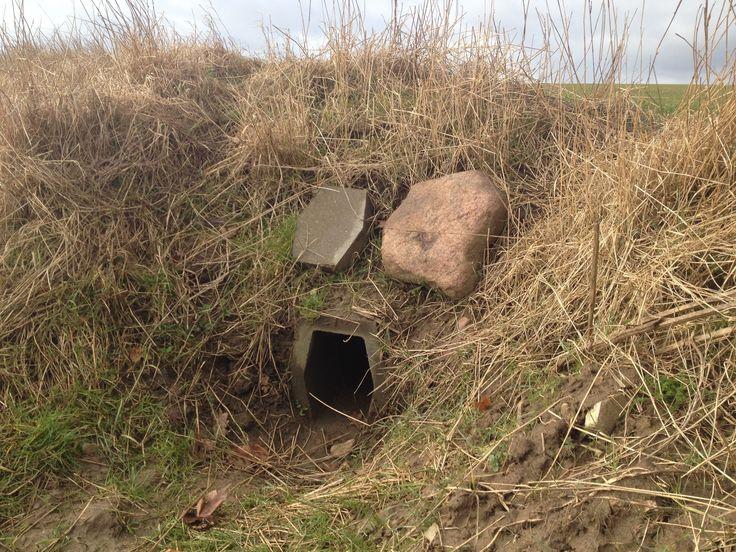 """Vejr og vind medfører at ræve søger gravene mere end tidligere, hvor de sagtens kan ligge tørt over jorden. I slutningen af december begynder rævene så små at """"rolle"""", og derfor kan det ofte hænde, at der sidder både 2 og 3 ræve i samme grav."""