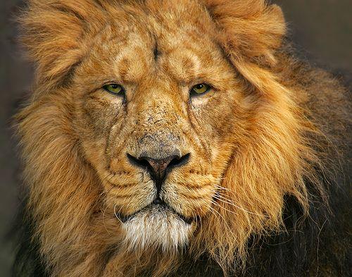 Lion #1.