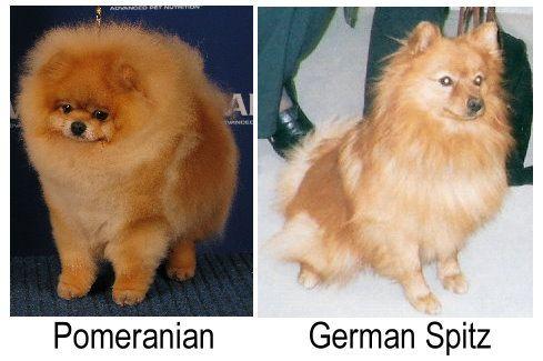 Résultats de recherche d'images pour «mini chien pomeranien»