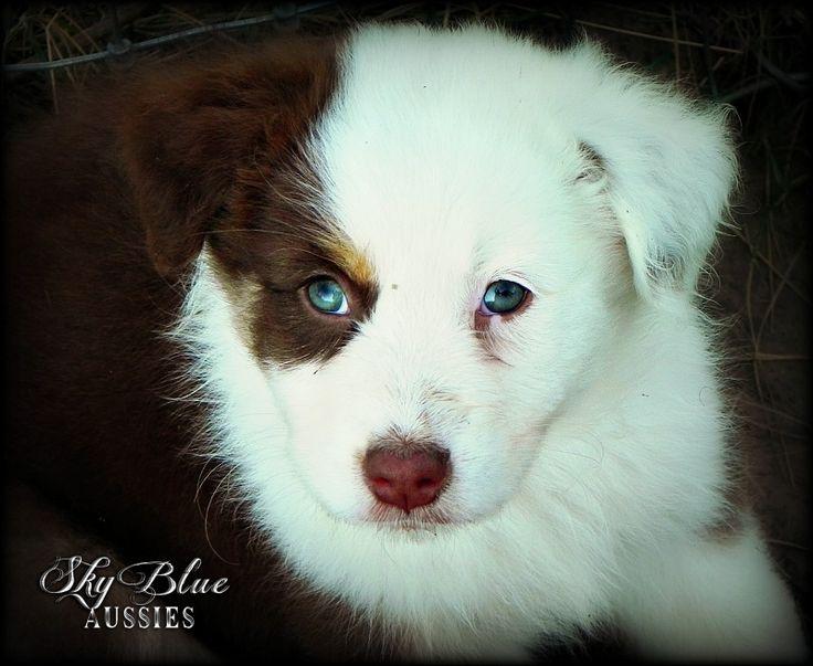 Australian Shepherd Puppies!!!!!! Too cute for words.