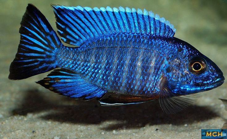 29 best malawi cichlids images on Pinterest | Malawi ...