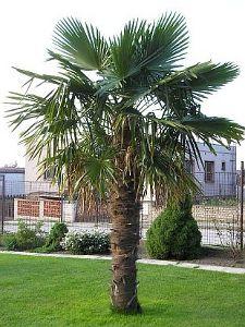 Trachycarpus fortuneii (chinese windmill)