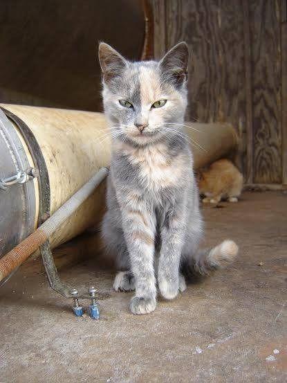 1000+ images about Tortoiseshell/Calico Cats on Pinterest ... | 415 x 553 jpeg 34kB