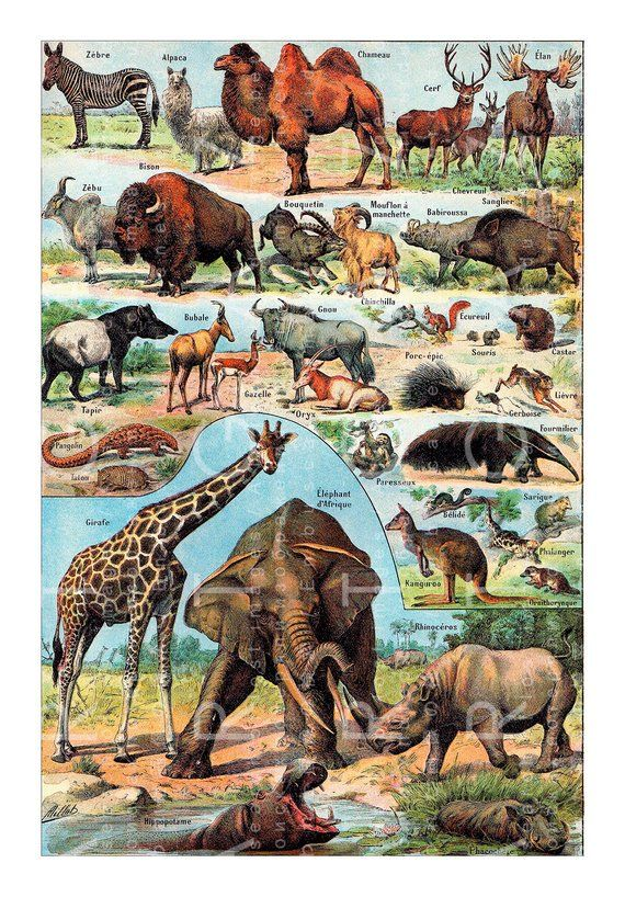 Antique Chart Wild Animals Art Print French Dictionary Larousse Color Plate Jungle Animals Mammals Chart Digital Animal Posters Animal Wall Art Decor Animals
