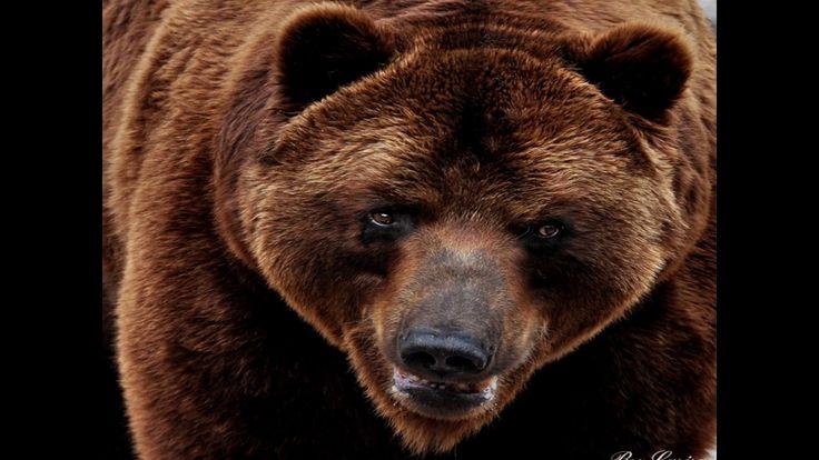 Нападение медведя, как уберечься? Реальные кадры.
