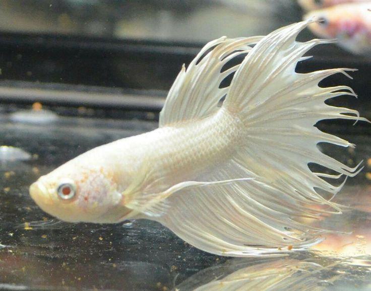 Albino crowntail betta male awesome aquaria fresh for Betta fish water temp