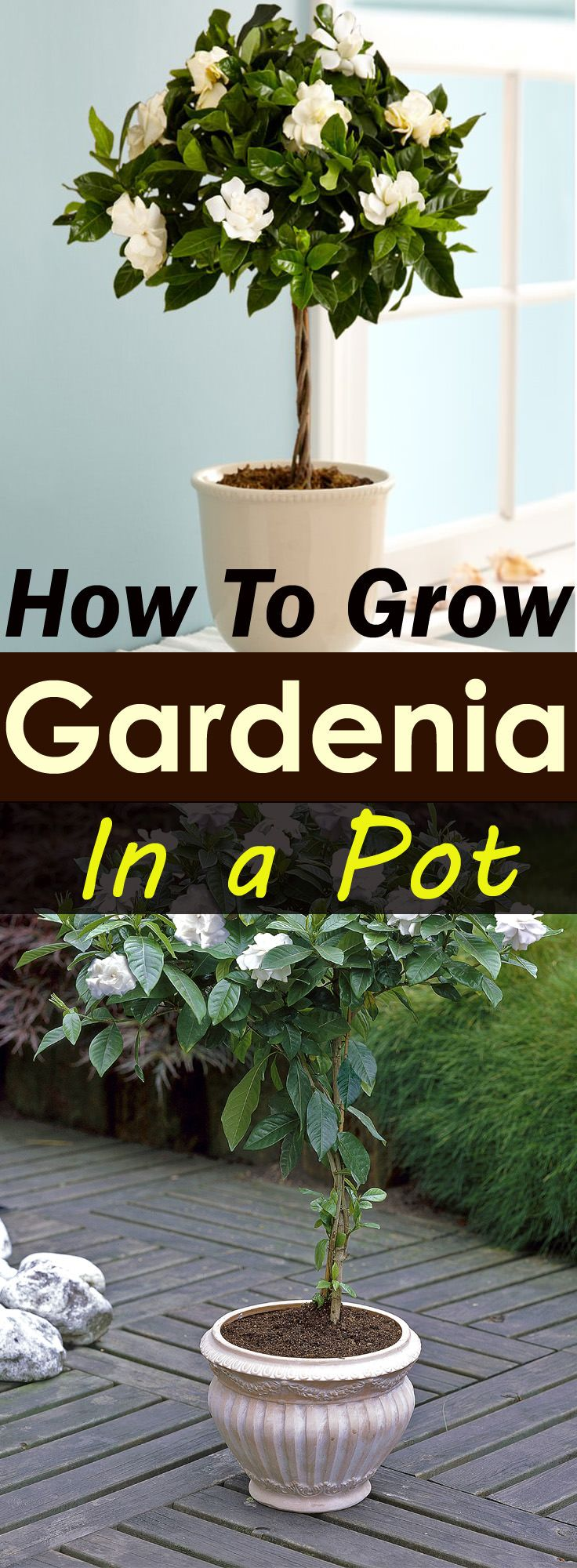 Growing gardenias in pots require some care and attention but they worth that as gardenias are famous for their heady fragrance and beautiful appearance.