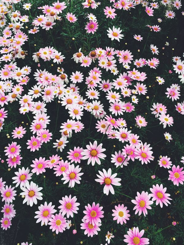 Best 25 Pink Daisy Ideas Only On Pinterest Pink Flowers