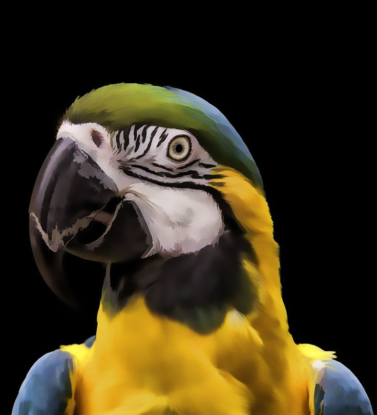Digital Painting Of A Blue And Yellow Macaw Parrot Art Print - by Tim Abeln Photography and Digital Art Prints. Beautiful wall decoration for your home and office. Macaws are perhaps the most easily recognizable birds in the parrot family. Colorful and entertaining, these birds have been kept as pets for hundreds of years. Macaws are one of the favorite pets which people want to own. Their captivating plumage, acrobatic capers, avian charisma and sometimes inane personalities are...