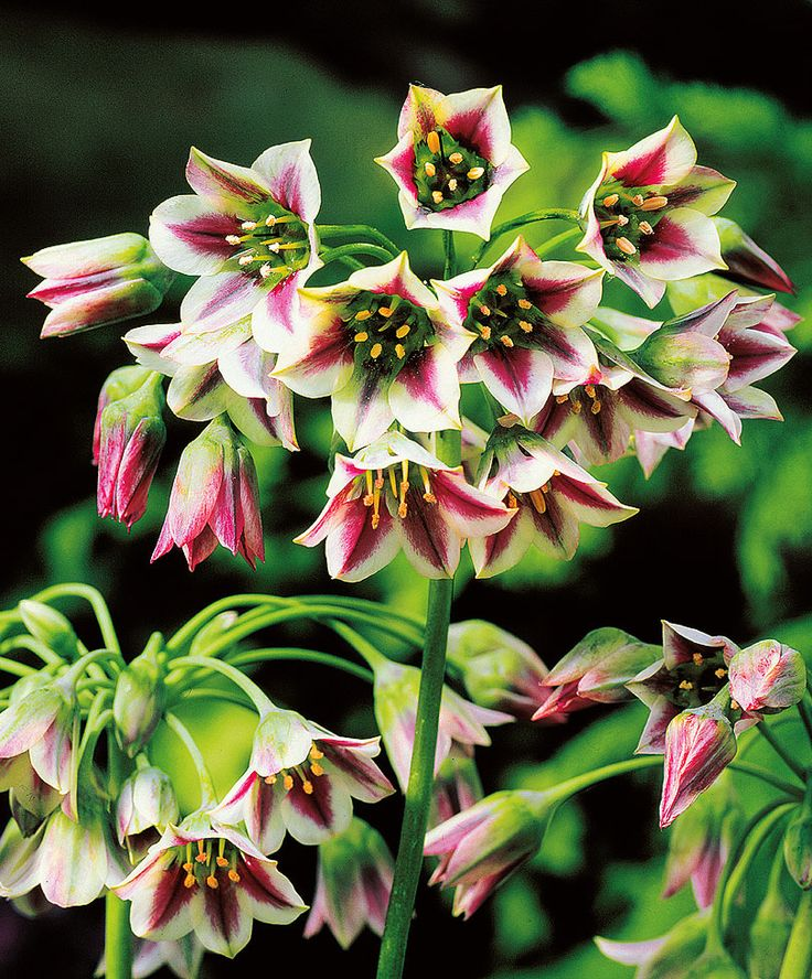 Nectaroscordum siculum bulgaricum (Bulgarian ornamental onions)  Think of them in the same terms as you would Allium