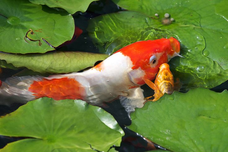 388 best images about everything koi my dream koi pond on for Dream about fish out of water