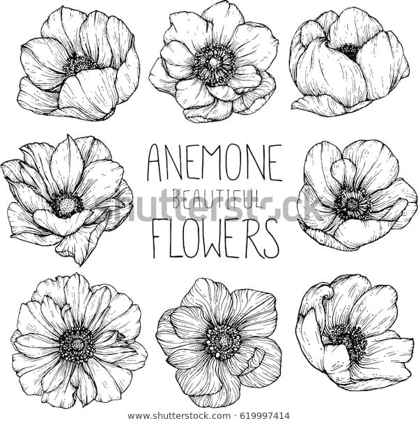Find Anemone Flowers Drawing Illustration Vector Clipart Stock Images In Hd And Millions Of Other Royalty In 2020 Flower Drawing Flower Sketches Drawing Illustrations