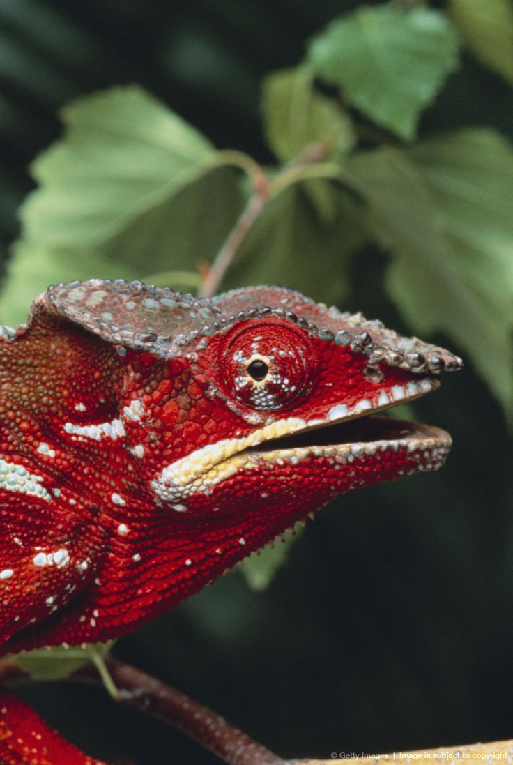 25 amazing chameleon pictures - Image Detail For Panther Chameleon