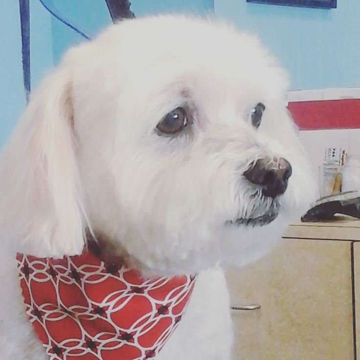 Sweet boy Scooter #wagsmytail #tucsondoggrooming #doggroomer A well groomed dog is a well loved dog! Call us today to schedule your dog grooming appointment 520-744-7040