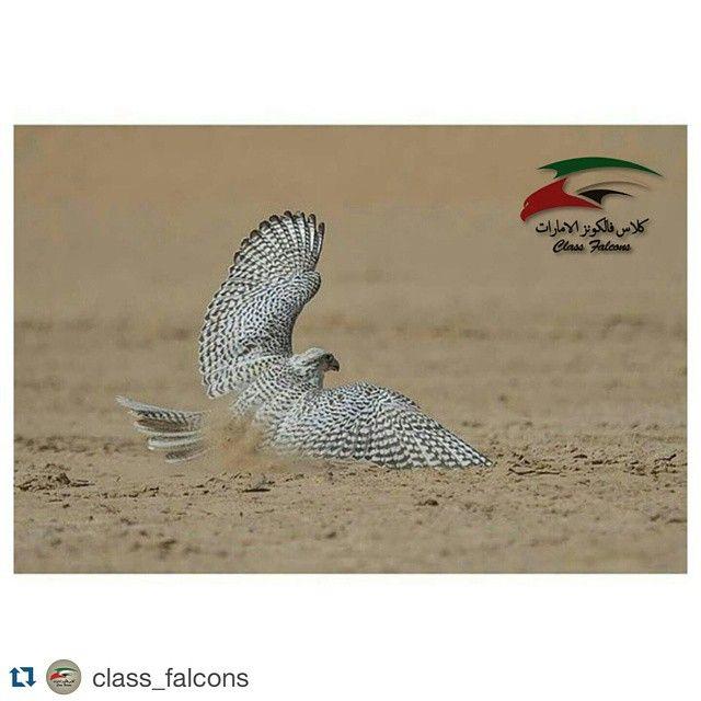 Repost Class Falcons With Repostapp Falcon صقر Falconry صقور Gyrfalcon جير Peregrine شاهين Saker قرموشه Mews مكشات Huntin Owl Animals Bird