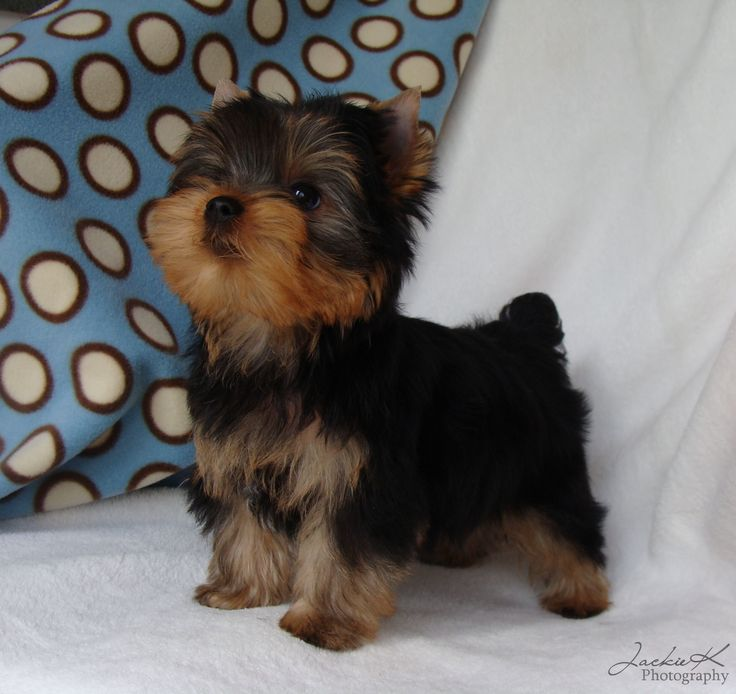 JaLa Yorkies in Indiana ~ Available Yorkie Puppies,Yorkie Puppies ...