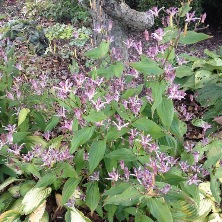 Photo of Japanese Toad Lily (Tricyrtis hirta) uploaded by jvdubb