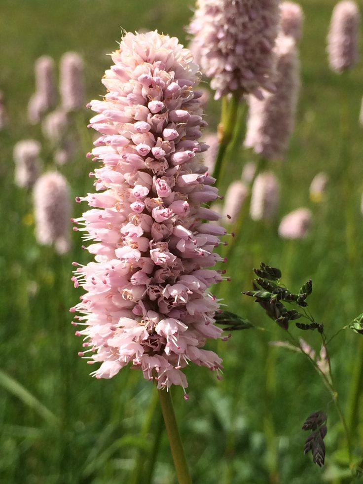 fiori di montagna5