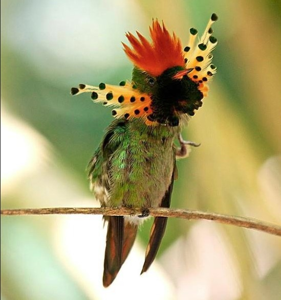 tufted coquette hummingbird from  eastern Venezuela, Trinidad, Guiana and northern Brazil