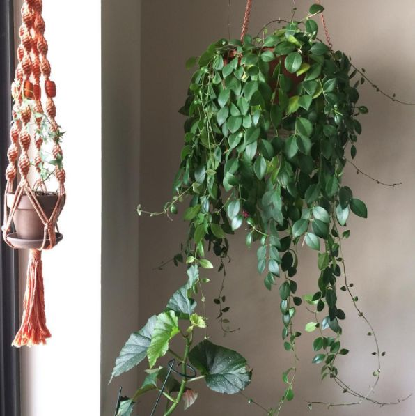 This tableau of climbing ivy, lipstick plant, and angel wing begonia. | 25 Houseplants That Will Help You Plan Your Dream Indoor Jungle