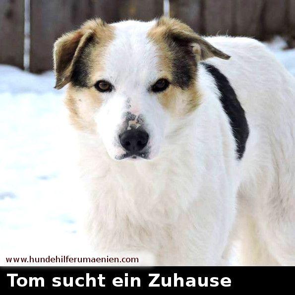 www.hundehilferumaenien.com/tom/   Tom ist im Juli 2016 geboren. Er wurde im Alter von 4 Wochen auf der Straße gefunden. Er ist der Bruder von Jackie die auch zur Vermittlung steht. Er ist kastriert und mittelgroß. #zuhausegesucht #suchezuhause #derbestefreunddesmenschen #tierschutz #hundevermittlung #animalrescue #needhome #welpenvermittlung #tierschutzhund #hundeliebe #hundehilfe #adoptdontshop #adoption #animalshelter #tierheimtiere #hundefreund #hundeleben #Welpe #hundesucheneinzuhause