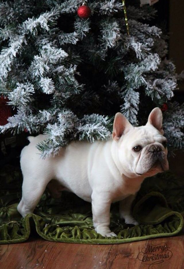 French Bulldog under the Christmas Tree