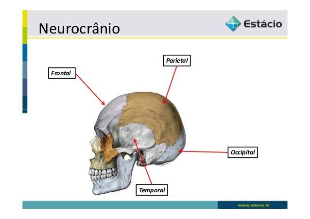 Resultado de imagem para neurocranio e viscerocranio