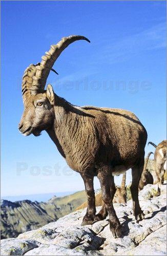 Martin Zwick - Alpine Ibex (Capra ibex)헬로우카지노▶CCC447.COM◀헬로우바카라 헬로우바카라▶CCC447.COM◀헬로카지노 헬로카지노▶CCC447.COM◀헬로바카라 헬로바카라▶CCC447.COM◀코리아카지노 코리아카지노 ▶CCC447.COM◀브라보카지노 브라보카지노▶CCC447.COM◀엔젤카지노 엔젤카지노▶CCC447.COM◀강남카지노 강남카지노▶CCC447.COM◀카지노주소 카지노주소▶CCC447.COM◀바카라주소