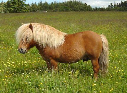 Kellas Peerie Plover - Shetland Stallion