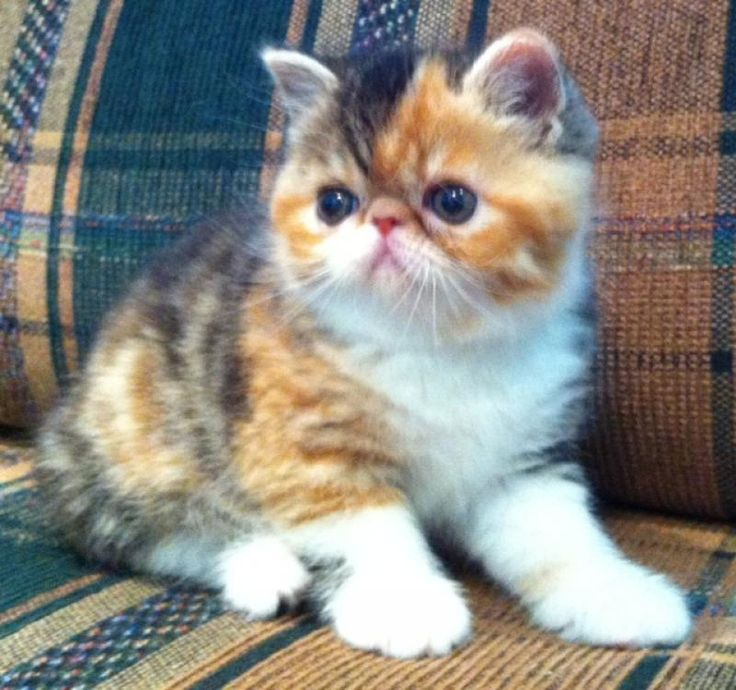 Exotic shorthair cat for sale calgary