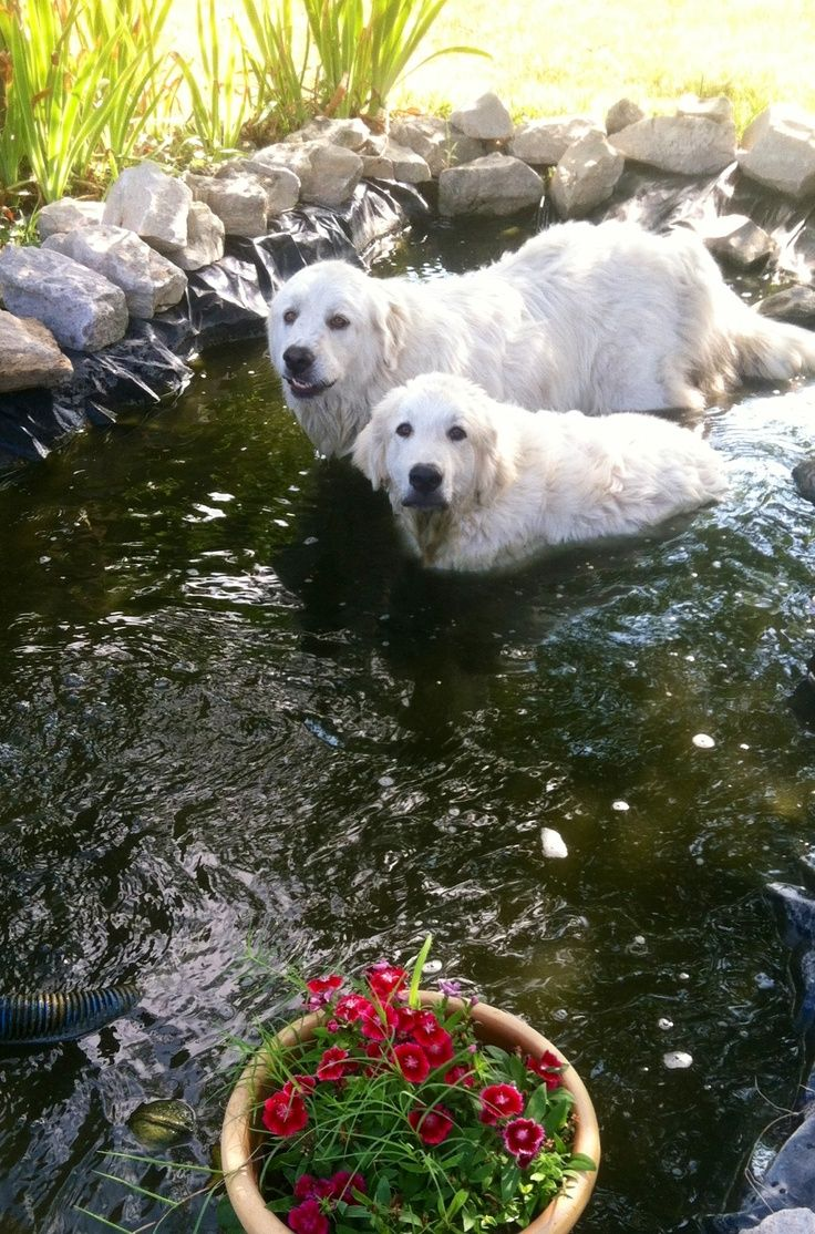 The goldfish pond is inviting in hot weather! Great Pyrenees, Pyrenean Mountain Dog