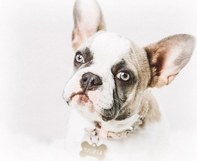Maybe Shes Born With It Waimea The Unbelievably Beautiful French Bulldog Puppy With Images Cute Dogs And Puppies Pitbull Terrier French Bulldog Pictures