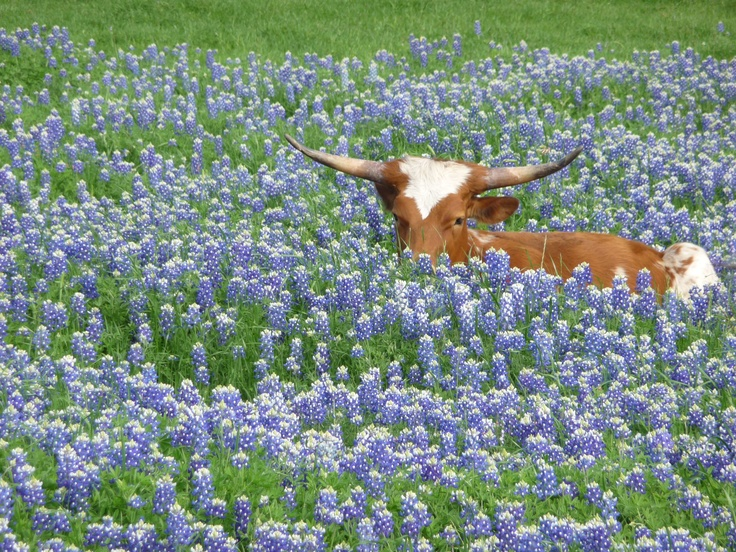 Peekaboo! A 6 monthold longhorn in the