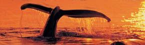 """hornblower whale watching and harbor cruises    Good stuff  """"mamal watching"""""""