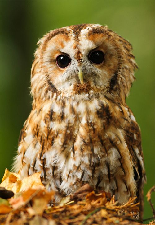 Tawny Owl By: craigbirdphotos    http://naldzgraphics.net/photography/owl-pictures/