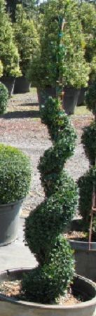 Buxus sempervirens 'Spiral':  Deer Resistant American Boxwood is traditionally used in the landscape as a hedge. They are shade tolerant. An old-fashioned favorite that still hold its own in the modern landscape. This is shaped into a spiral.