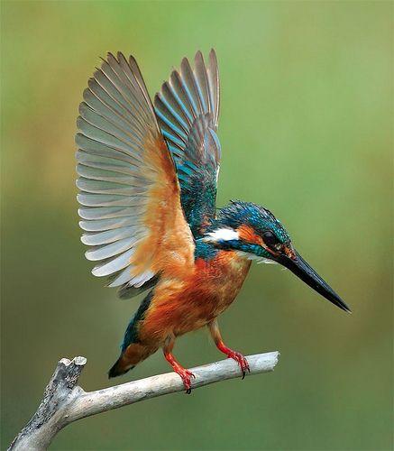 kingfisher wings                                                                                                                                                                                 Más