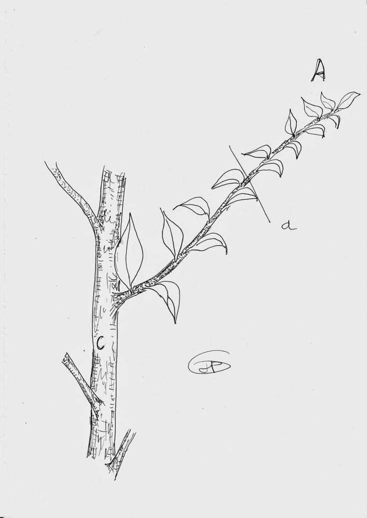Les secrets de la taille et de la greffe des arbres - Taille arbre fruitier ...