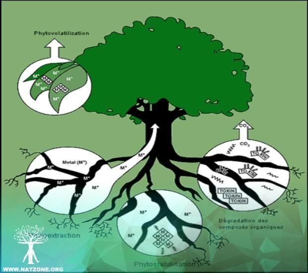 Entre las distintas técnicas de biorremediación, se encuentran la fitorremediación la cual es utilizada de manera amplia para el tratamiento de diferentes contaminantes. En Bolivia todavía no son considerados estos procesos de tratamiento ya que todavía no se manejan gestiones de tratamiento de