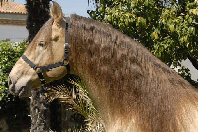 Avispado XVIII   PRE horses   PORTAL HÍPICO