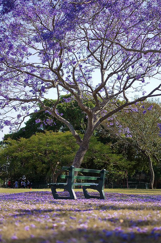 ~~Under the Jacaranda | Brisbane, Queensland, Australia by noompty~~
