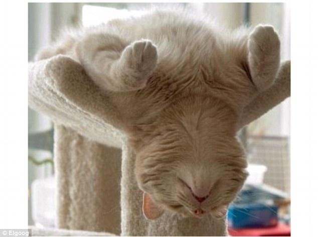 Veja algumas imagens curiosas de gatos dormindo - Inacreditável - Virgula