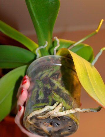 орхидеи-уход