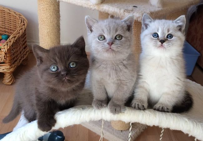 Bsh Come In A Wide Variety Of Colours British Shorthair Cats