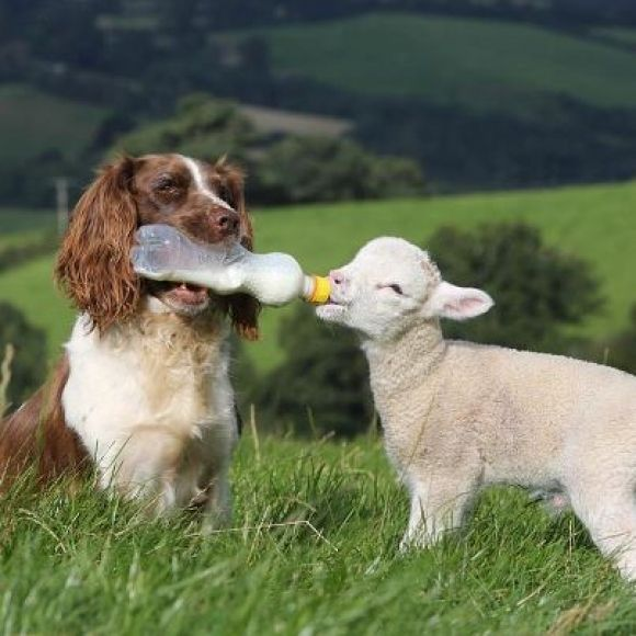 Being a herding dog is a full time job.