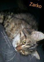 Siberian Cat Breeder Pendraig announces new litter of Siberian kittens for sale